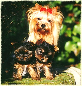 by nature the yorkie is neither a lapdog nor a yapper