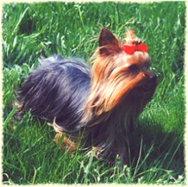 Yorkshire Terrier Journal Yorkies Are Bred To Be The Size They Are