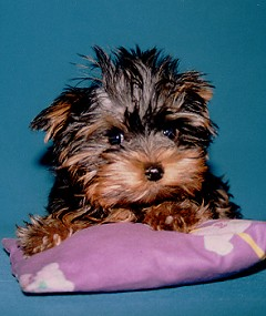 Yorkshire Terrier Journal How A Yorkie Whelp Learns To Get House